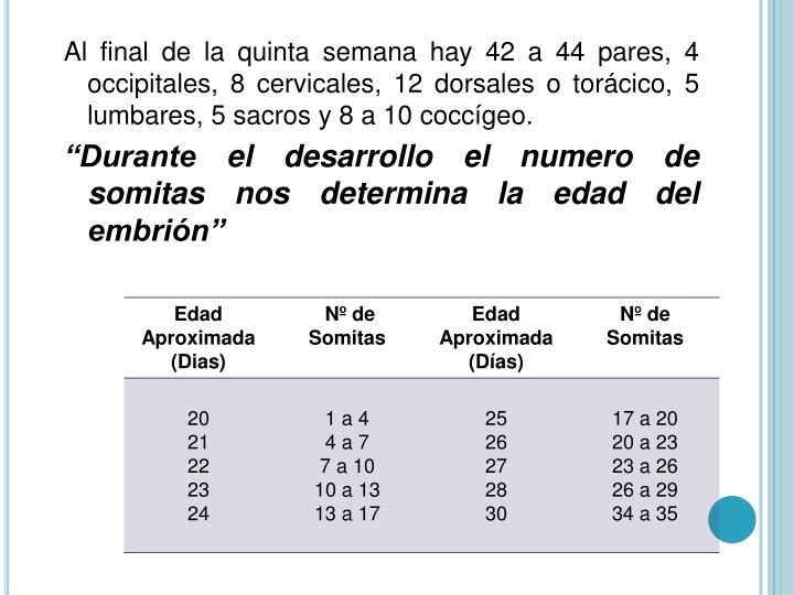 Al final de la quinta semana hay 42 a 44 pares, 4 occipitales, 8 cervicales, 12 dorsales o torácico, 5 lumbares, 5 sacros y 8 a 10 coccígeo.