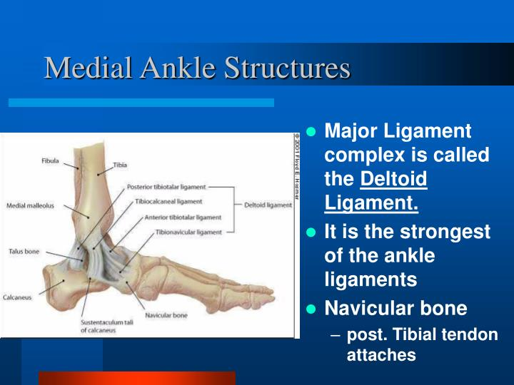 Medial Ankle Structures