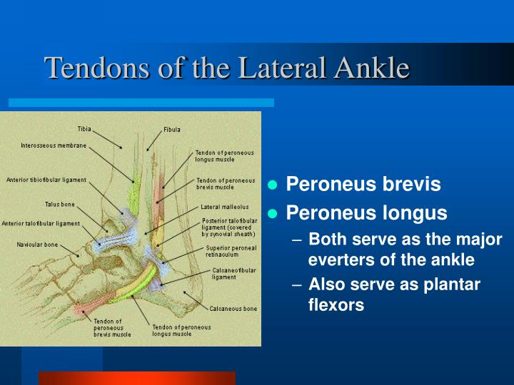 Tendons of the Lateral Ankle