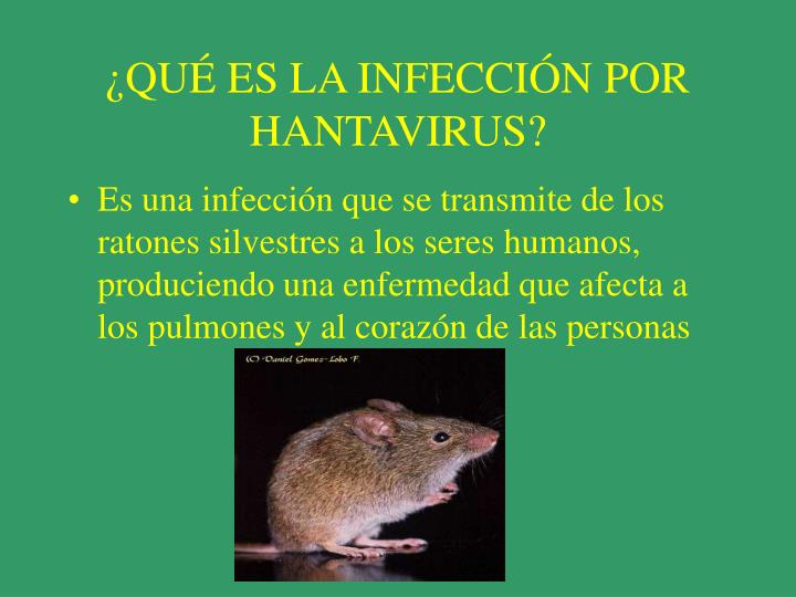 Qu es la infecci n por hantavirus