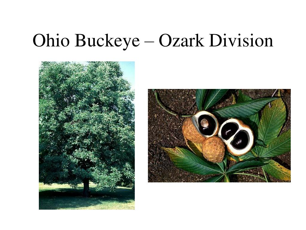 Ohio Buckeye – Ozark Division