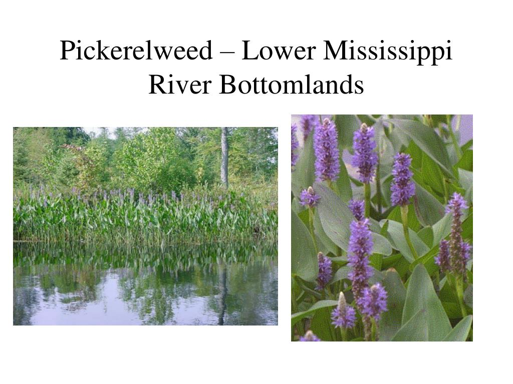 Pickerelweed – Lower Mississippi River Bottomlands