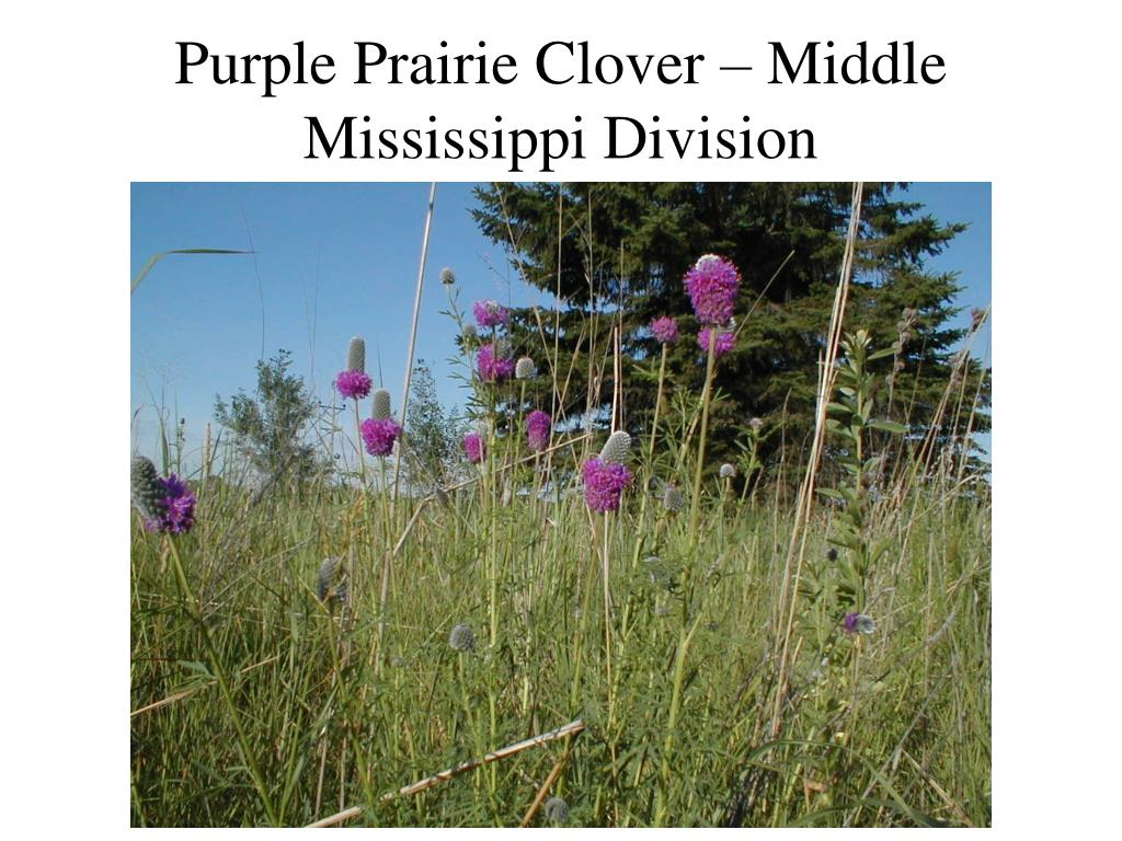 Purple Prairie Clover – Middle Mississippi Division