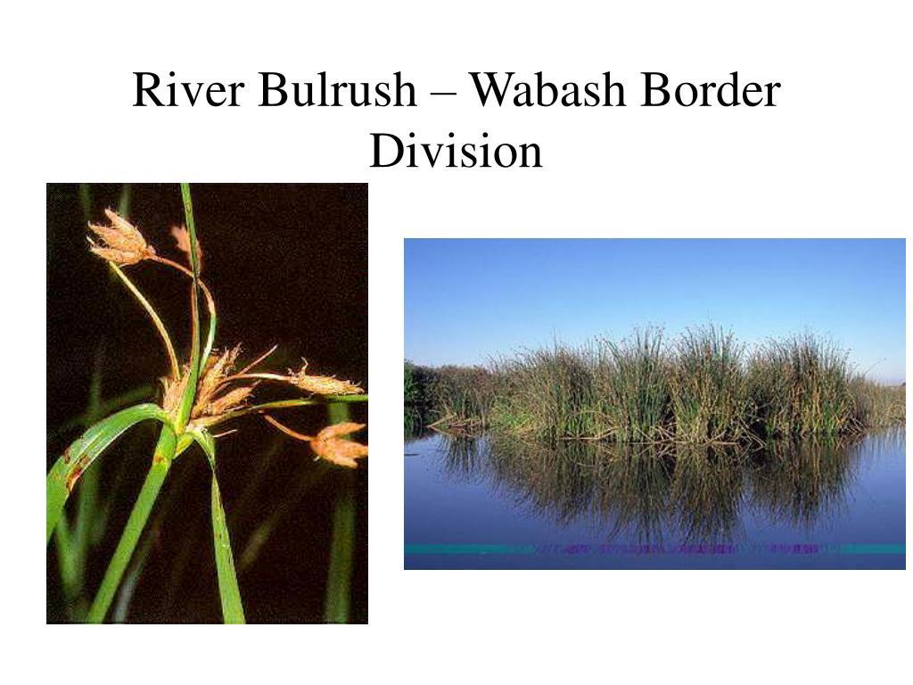 River Bulrush – Wabash Border Division