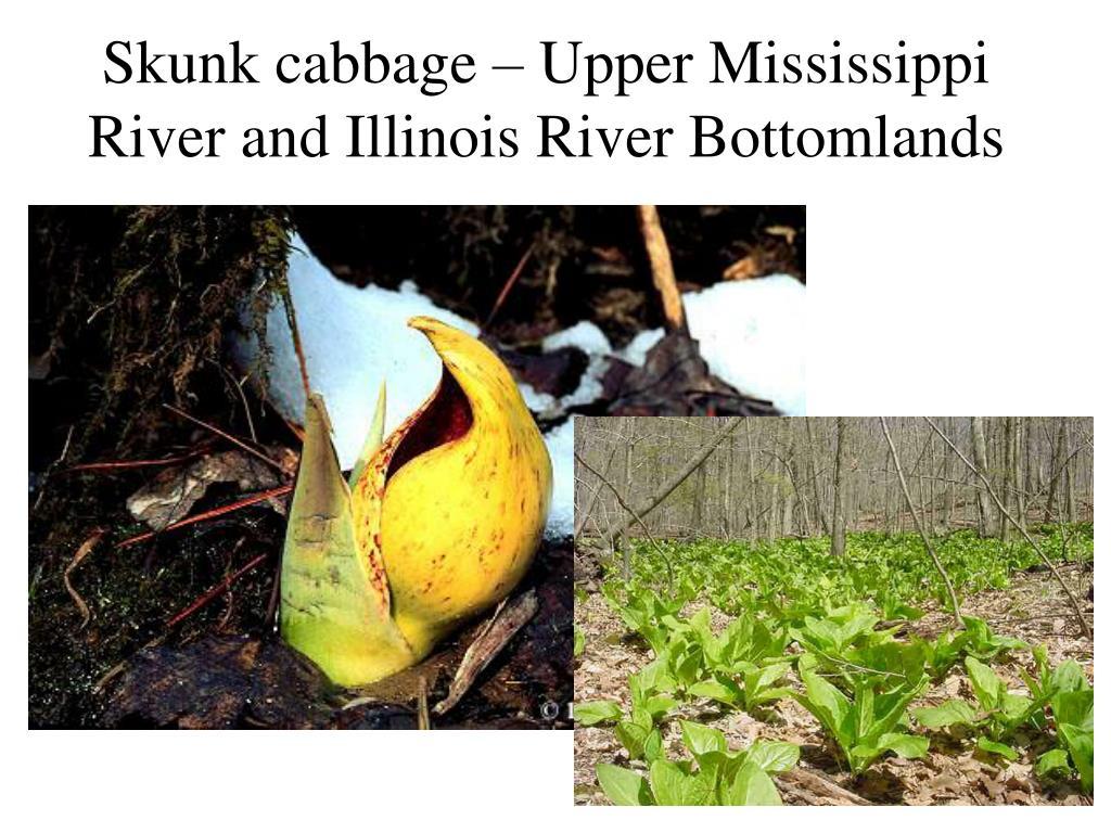 Skunk cabbage – Upper Mississippi River and Illinois River Bottomlands