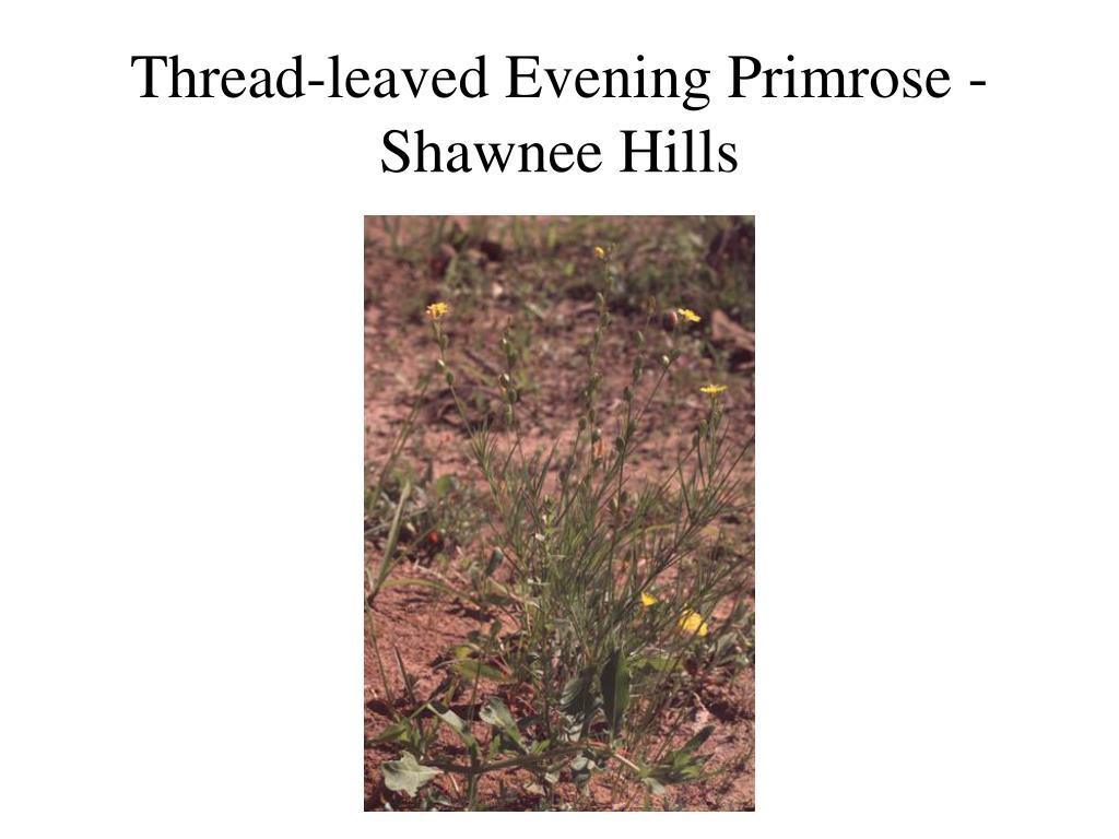 Thread-leaved Evening Primrose - Shawnee Hills