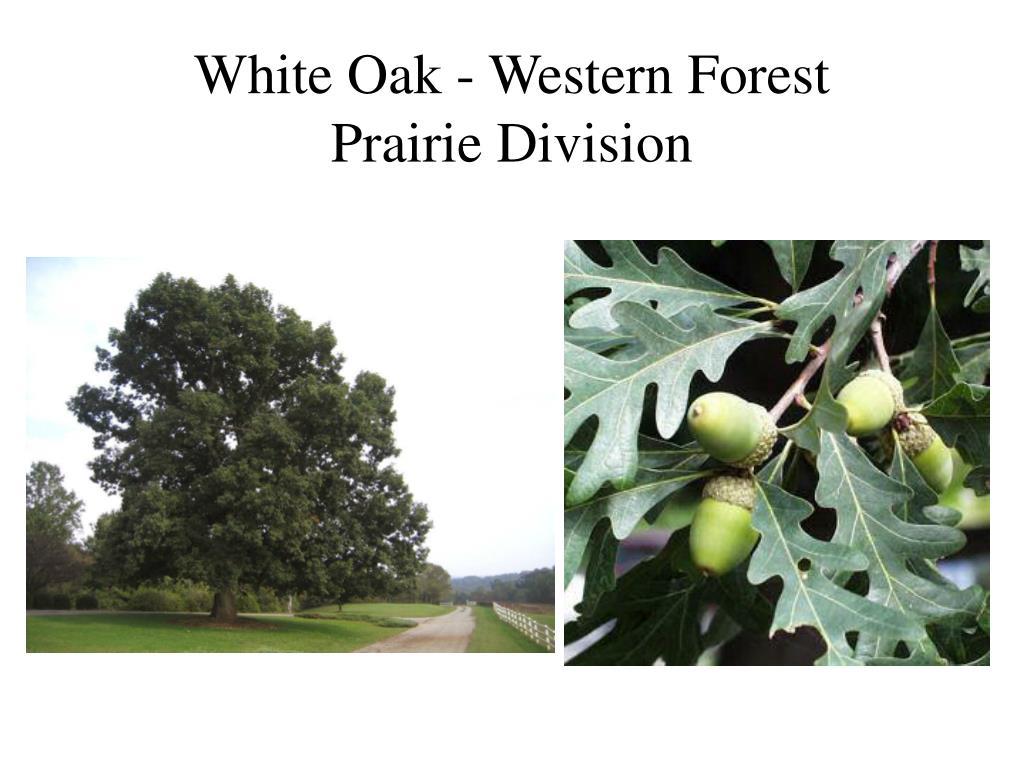 White Oak - Western Forest