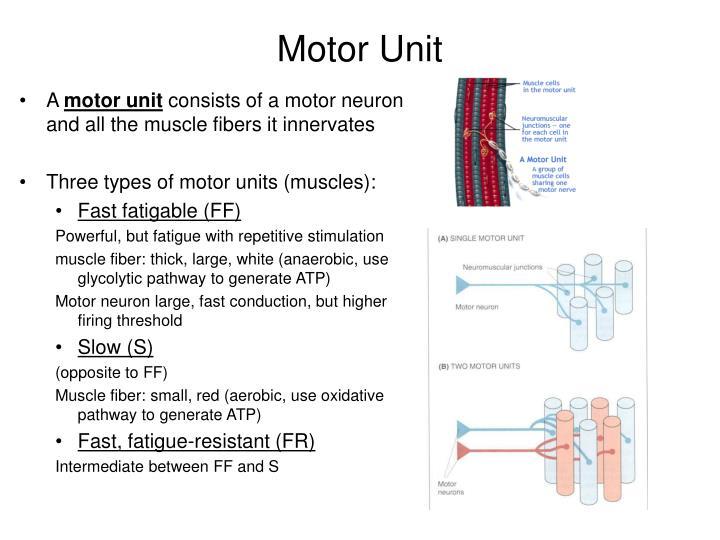 Motor Unit. A motor unit consists of ...