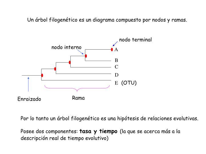Un árbol filogenético es un diagrama compuesto por nodos y ramas.