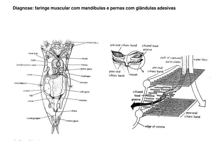 Diagnose: faringe muscular com mandíbulas e pernas com glândulas adesivas