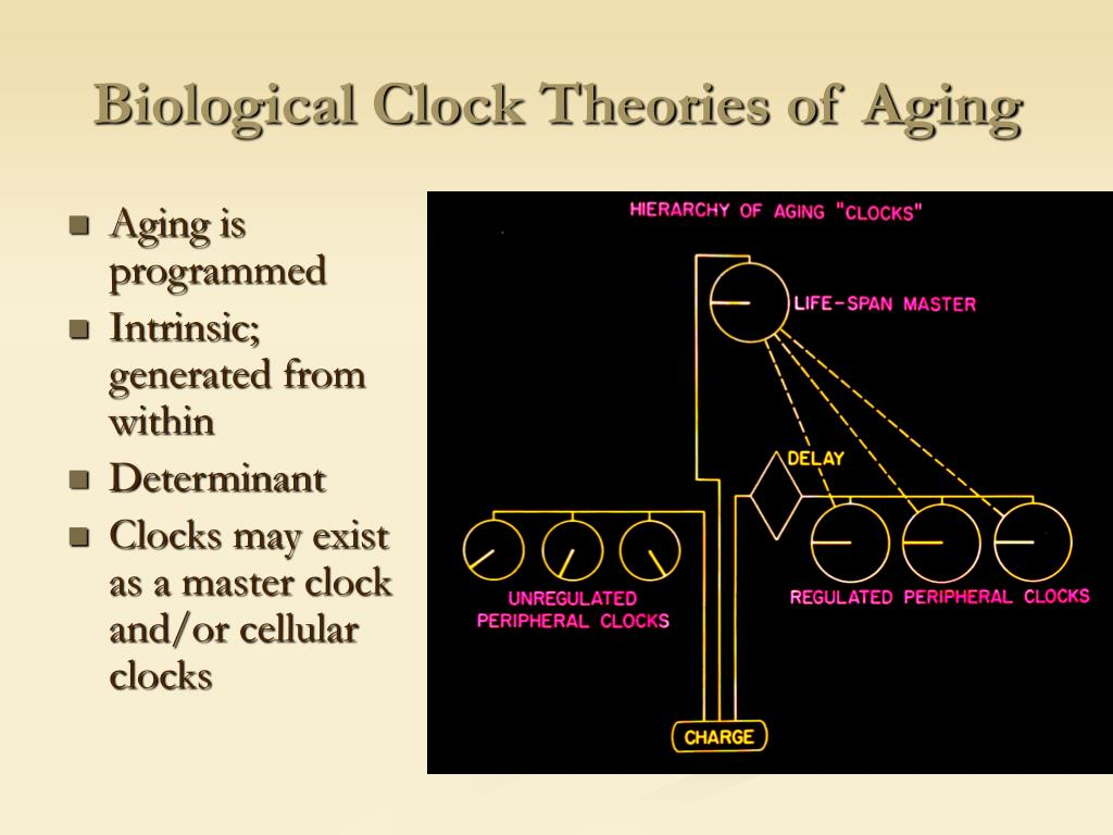 Biological Clock Theories of Aging