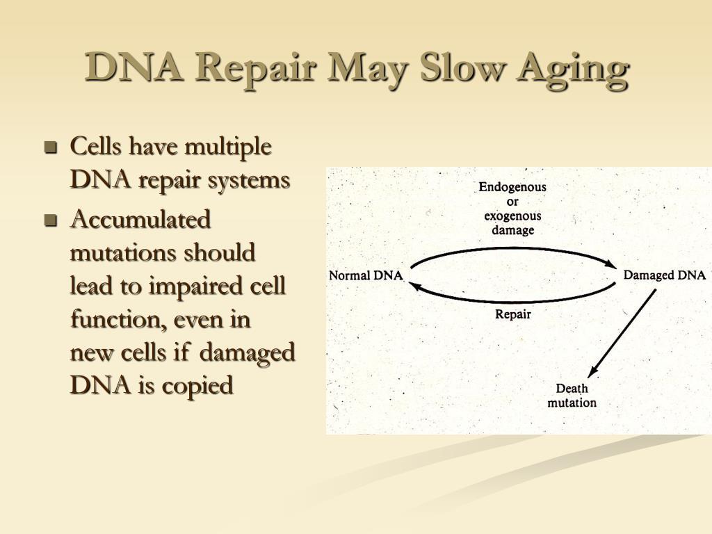 DNA Repair May Slow Aging