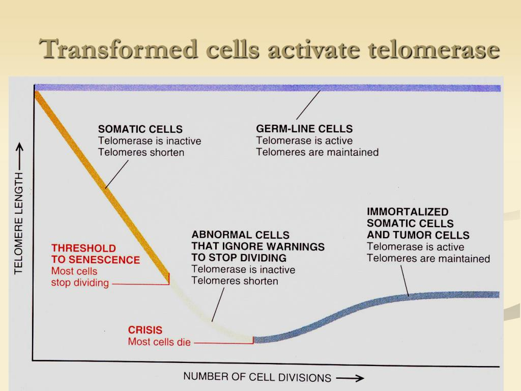 Transformed cells activate telomerase