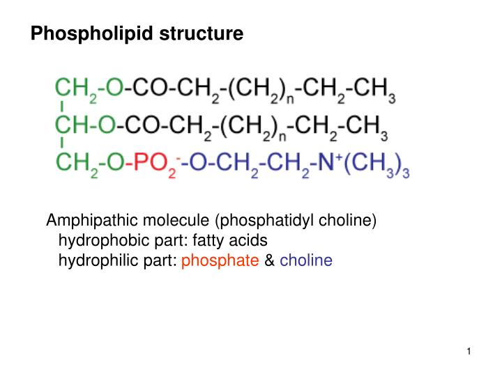 phospholipid structure n.