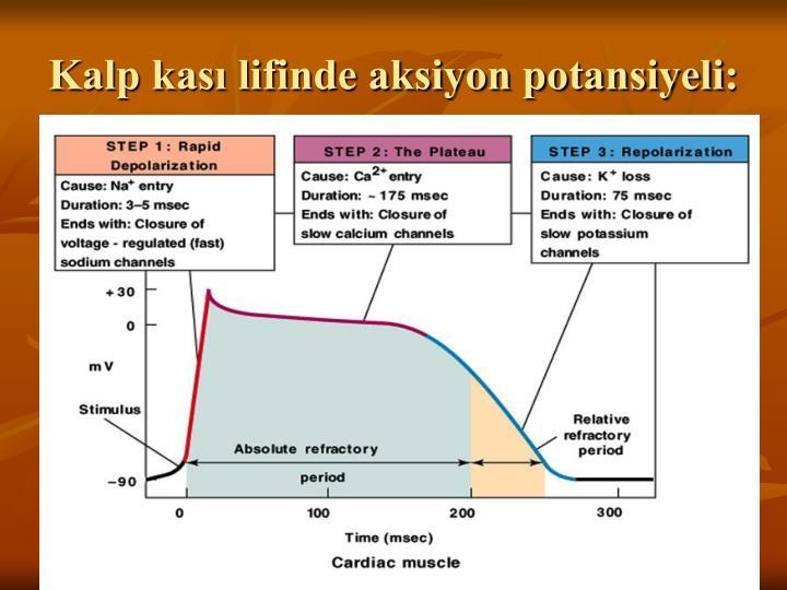 Kalp kası lifinde aksiyon potansiyeli