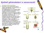 epiteli ghiandolari o secernenti2