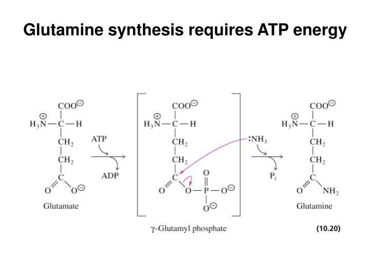 Glutamine synthesis requires ATP energy