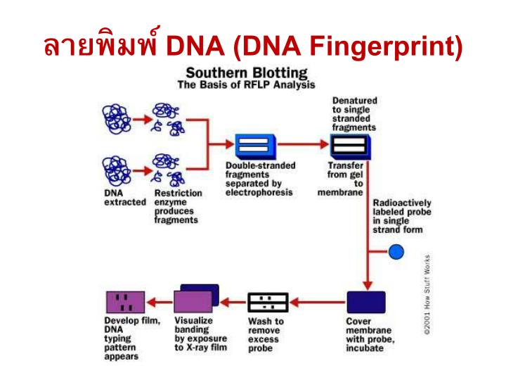 an analysis of the science and the dna testing in modern crime solving Criminalistics refers to the scientific analysis of evidence collected from the crime scene criminalists analyze physical evidence in the crime lab, including hairs, fibers, gunshot residue, arson accelerants, and body fluids such as blood or saliva (for dna testing.