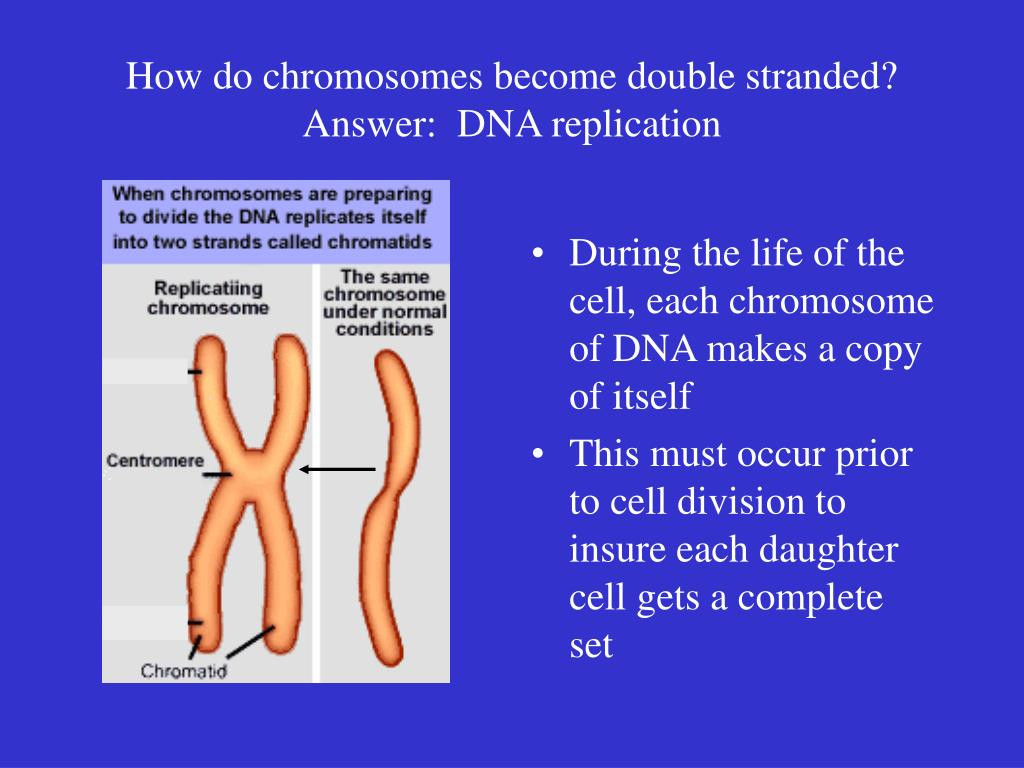 How do chromosomes become double stranded?