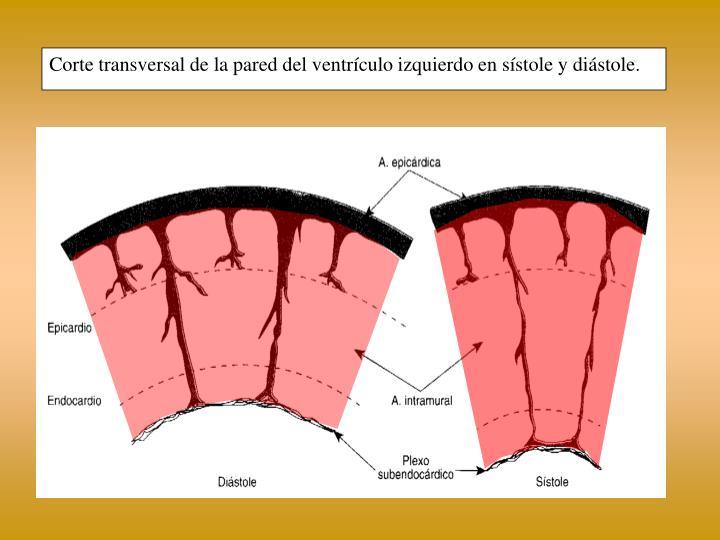 Corte transversal de la pared del ventrículo izquierdo en sístole y diástole.
