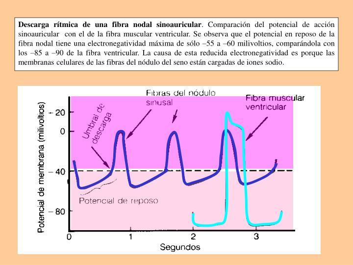 Descarga rítmica de una fibra nodal sinoauricular