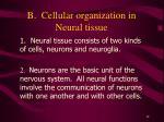 b cellular organization in neural tissue