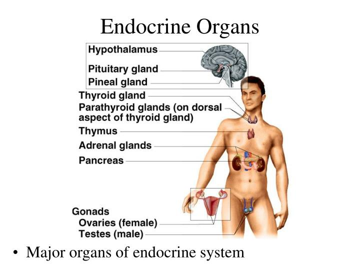 PPT - Chapter 17 Endocrine System PowerPoint Presentation - ID:874867