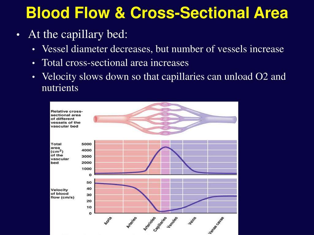 Blood Flow & Cross-Sectional Area