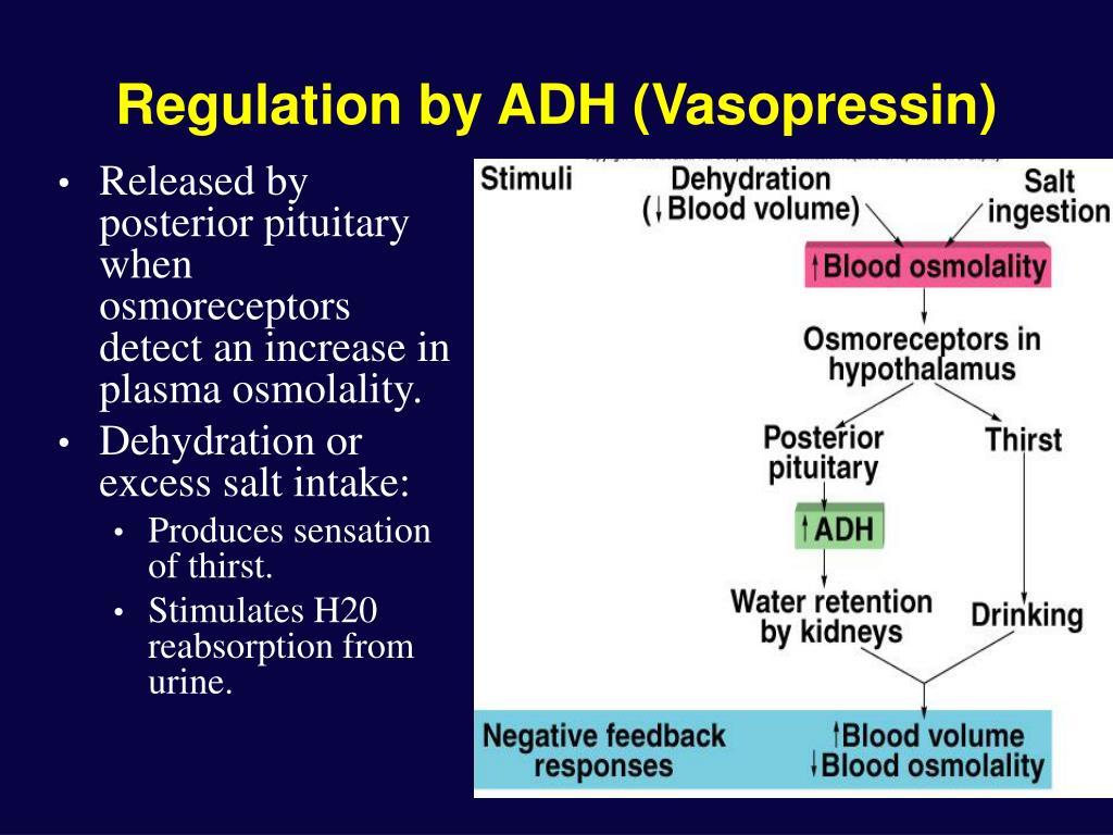 Regulation by ADH (Vasopressin)