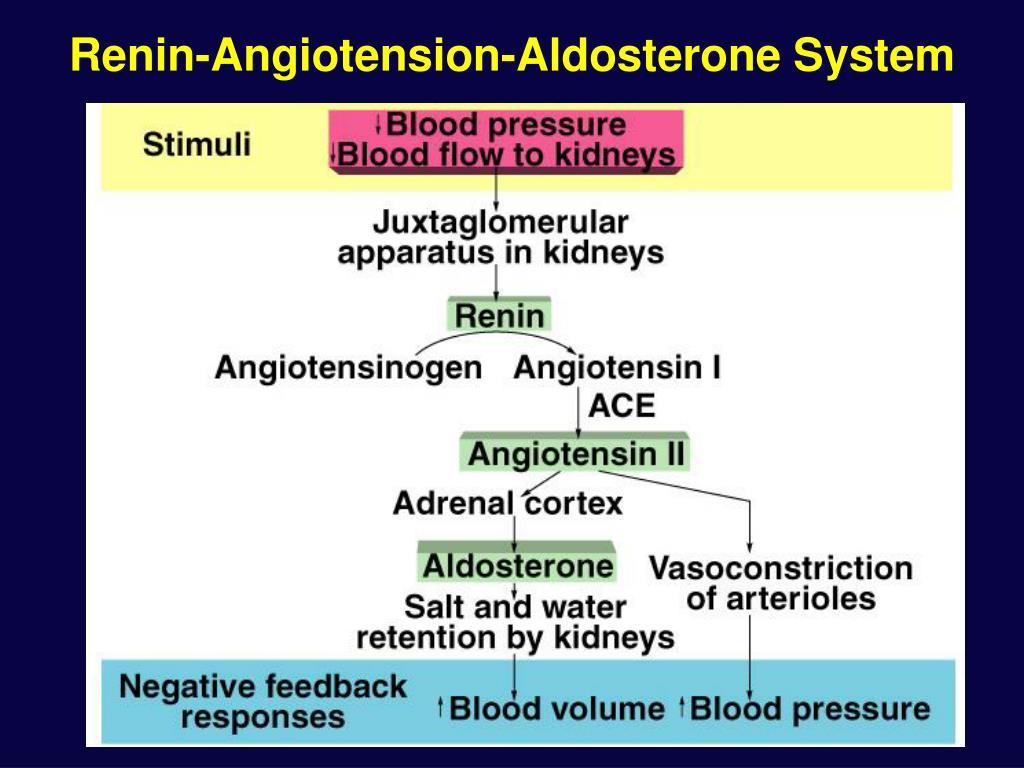 Renin-Angiotension-Aldosterone System