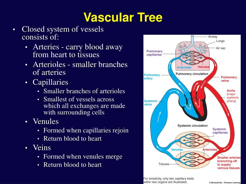 Vascular Tree