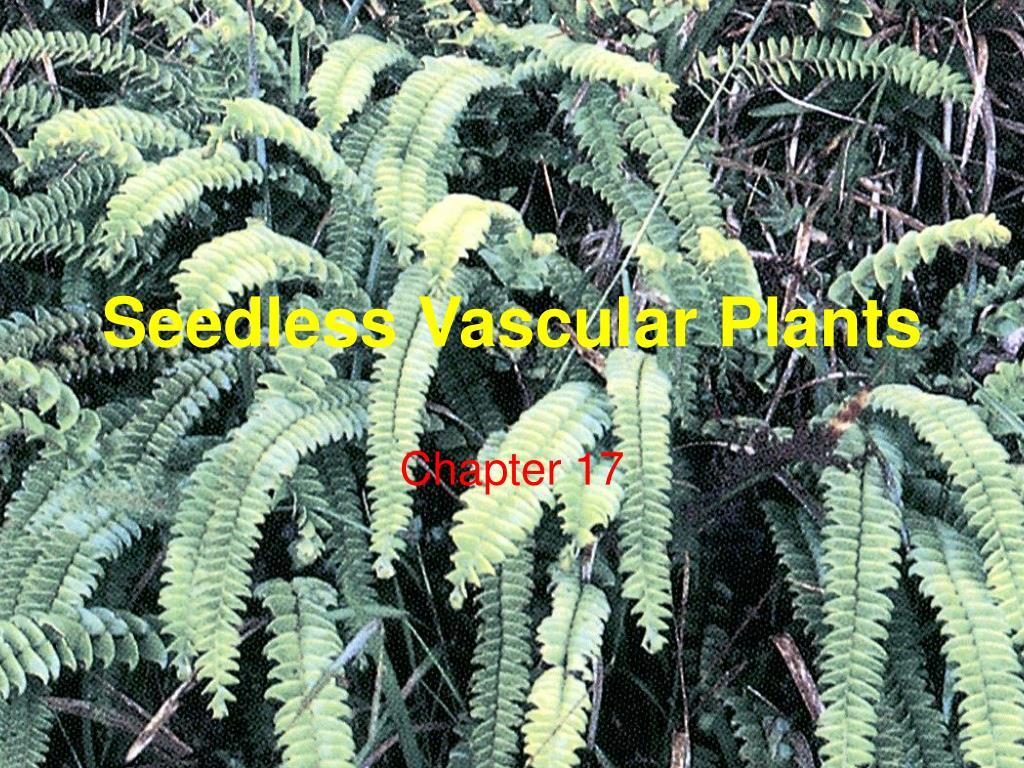 seedless vascular plants l.