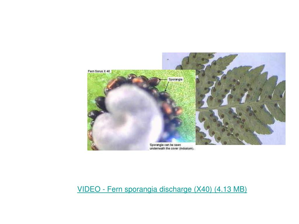 VIDEO - Fern sporangia discharge (X40) (4.13 MB)