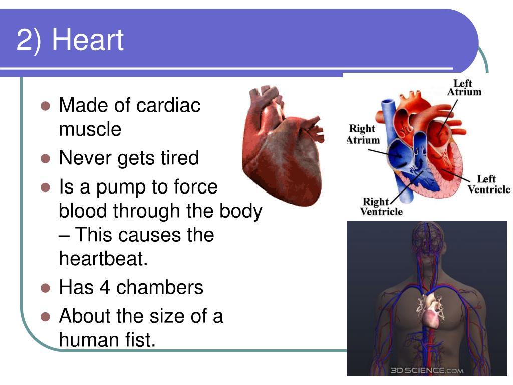 2) Heart