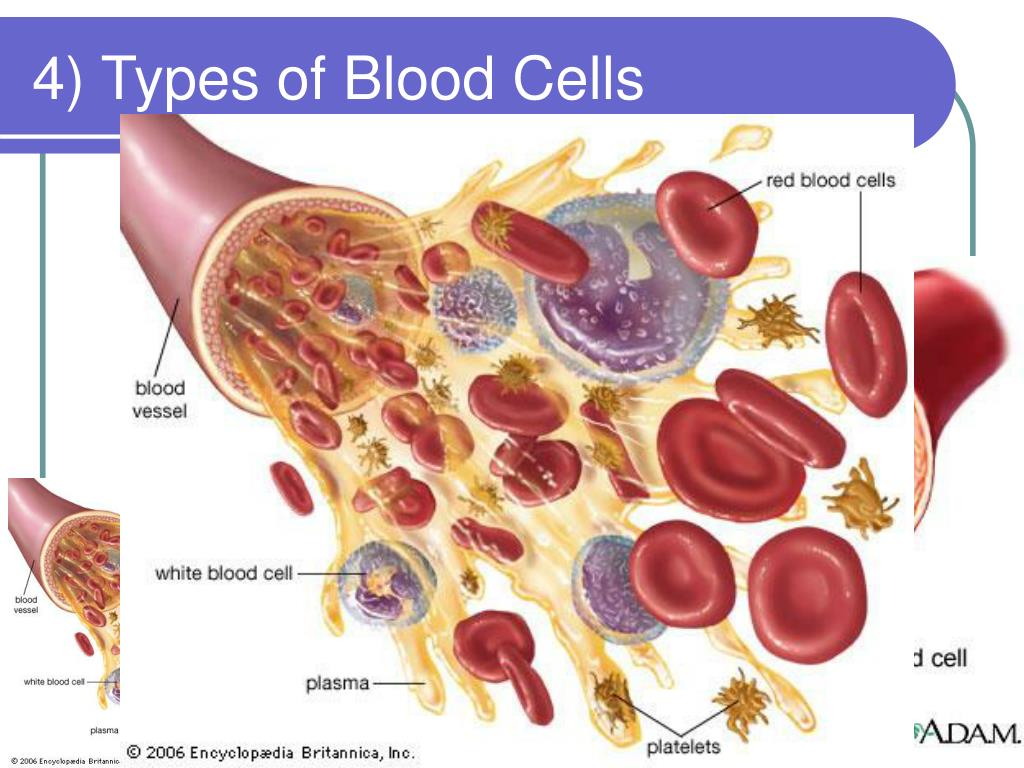 4) Types of Blood Cells