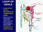 loop of henle