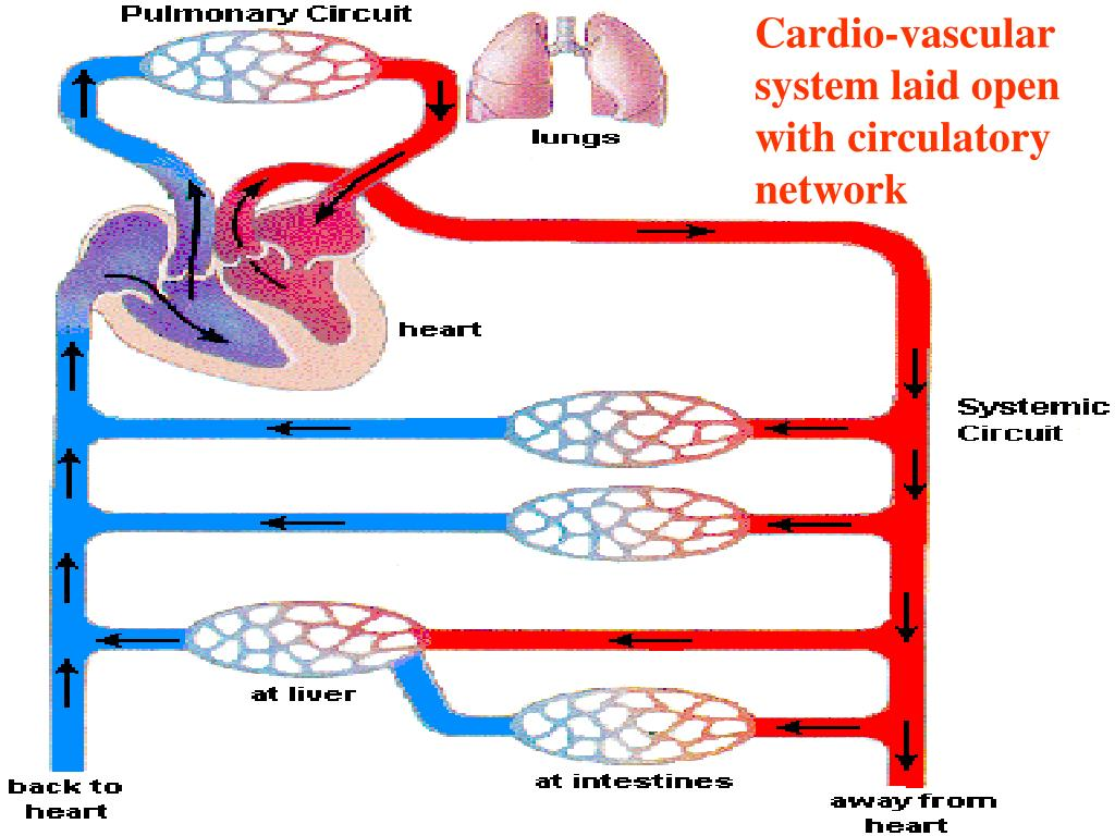 Cardio-vascular system laid open with circulatory network