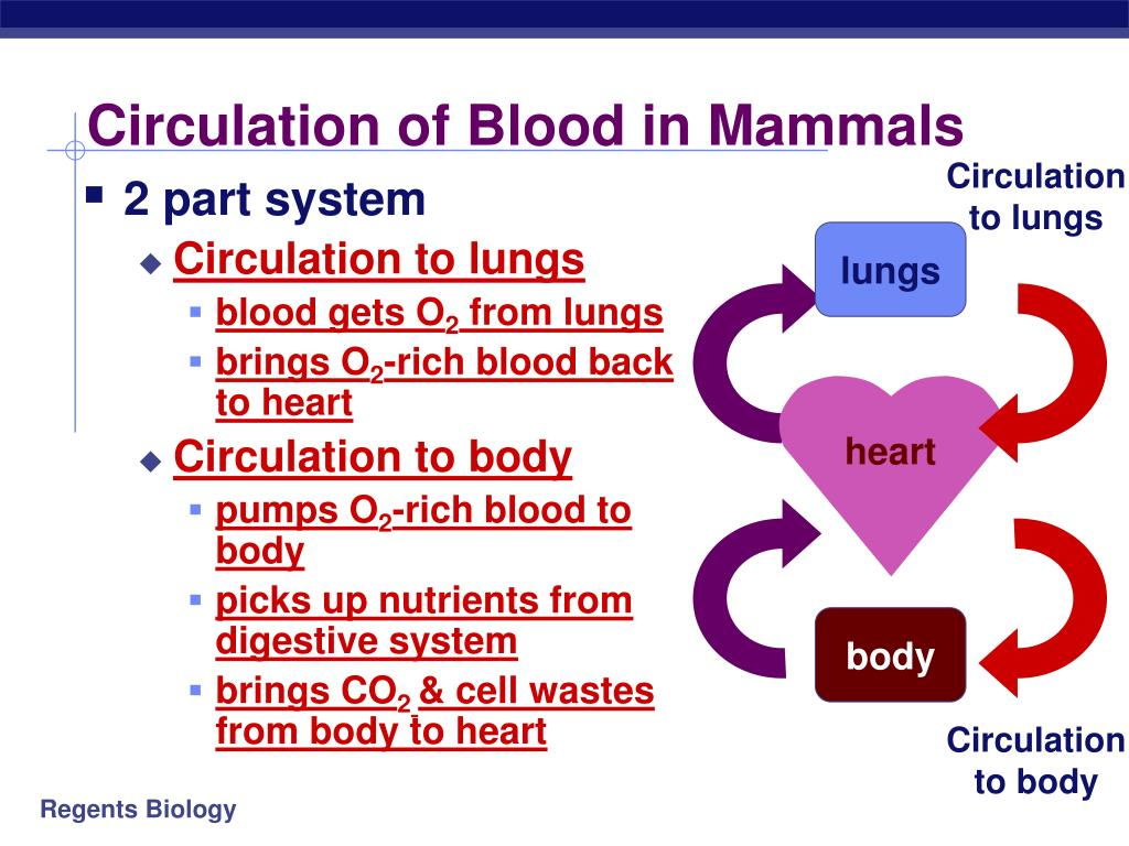 Circulation of Blood in Mammals