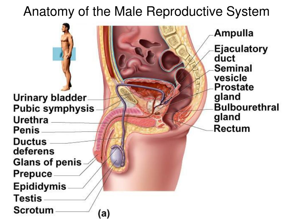 Ppt Anatomy Of The Male Reproductive System Powerpoint