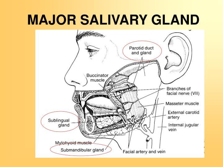 Interlobular Duct Salivary Gland