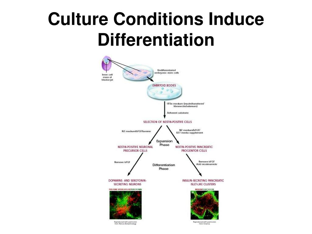 Culture Conditions Induce Differentiation