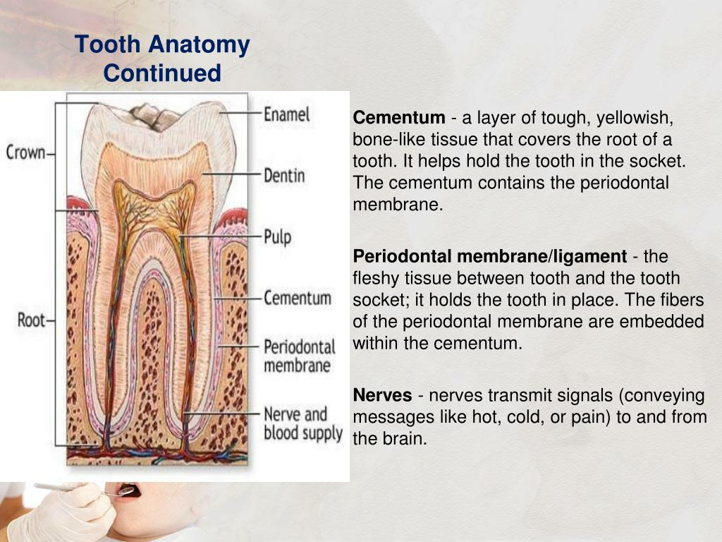 Tooth Anatomy Continued