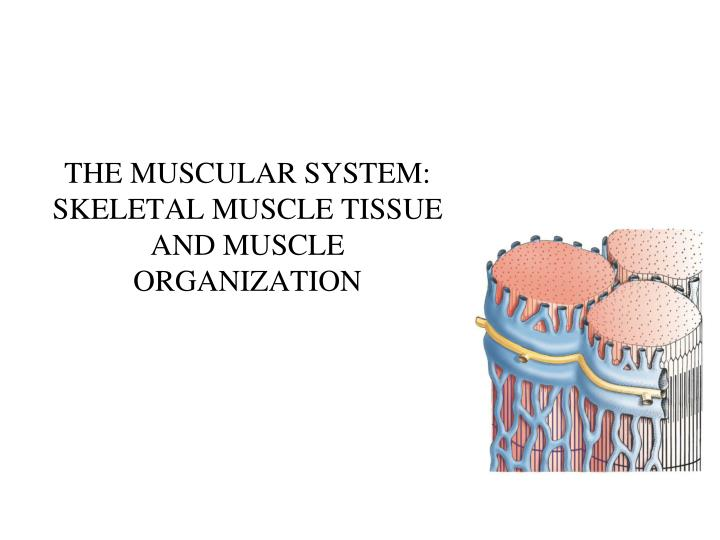 the muscular system skeletal muscle tissue and muscle organization n.