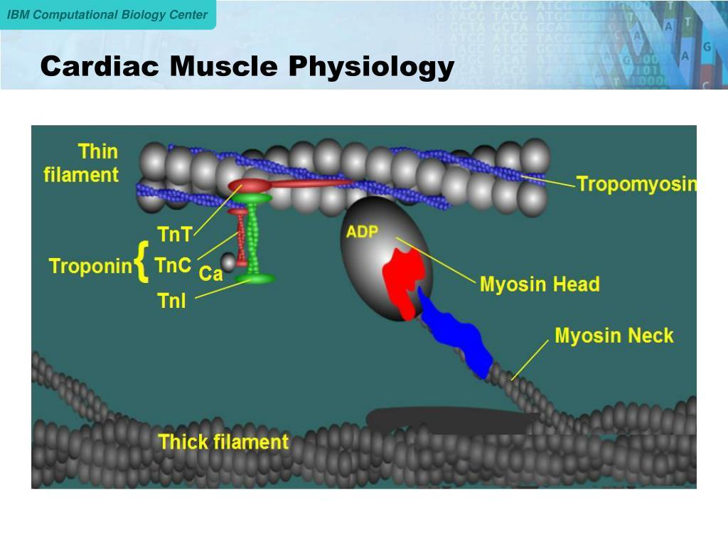 Cardiac Muscle Physiology