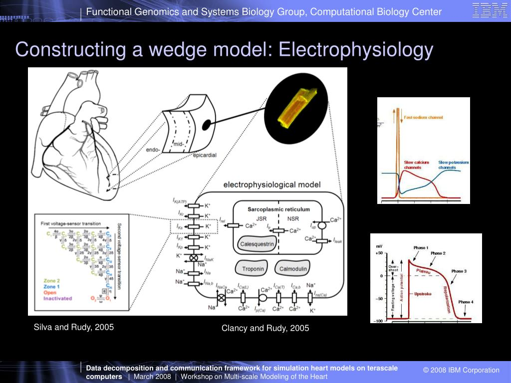 Constructing a wedge model: Electrophysiology