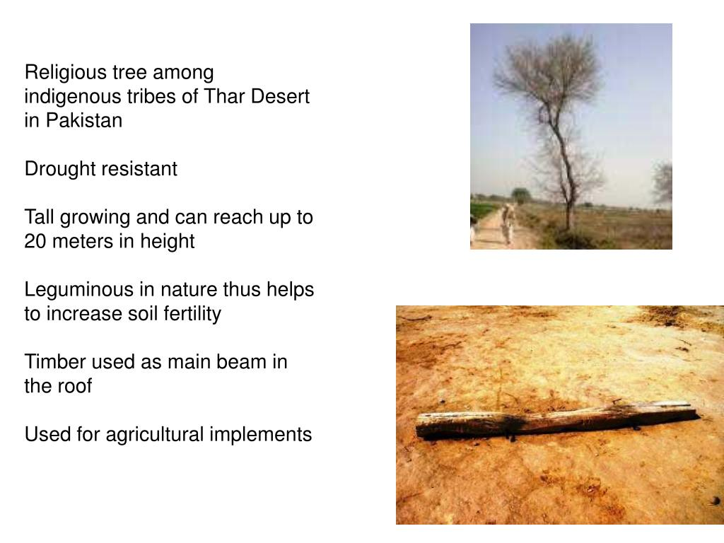 Religious tree among indigenous tribes of Thar Desert in Pakistan