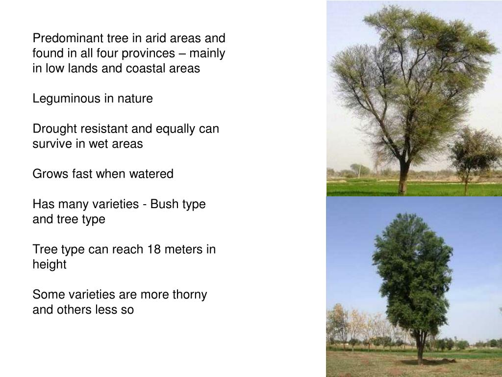 Predominant tree in arid areas and found in all four provinces – mainly in low lands and coastal areas