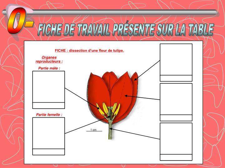 Ppt Dissection De La Fleur De Tulipe Powerpoint Presentation Id
