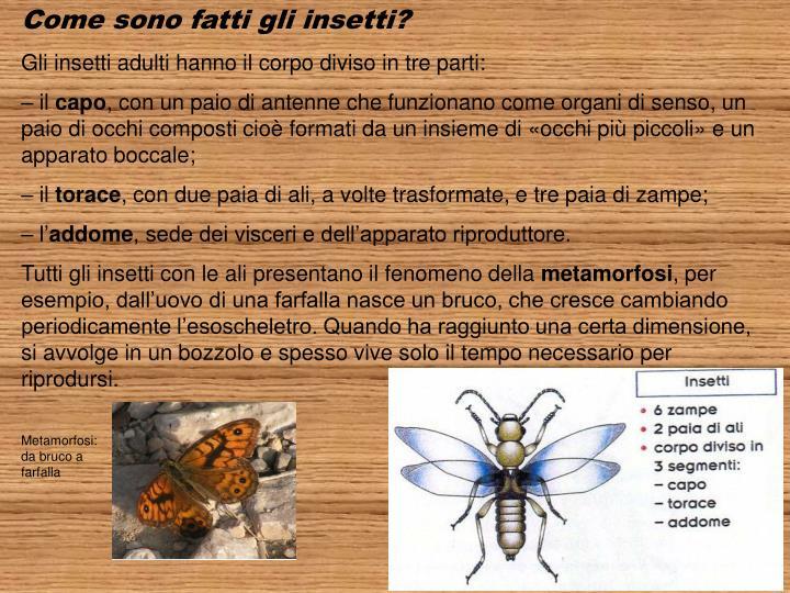 Come sono fatti gli insetti?