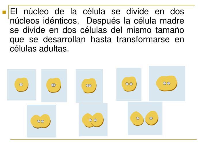 El núcleo de la célula se divide en dos núcleos idénticos.  Después la célula madre se divide en dos células del mismo tamaño que se desarrollan hasta transformarse en células adultas.